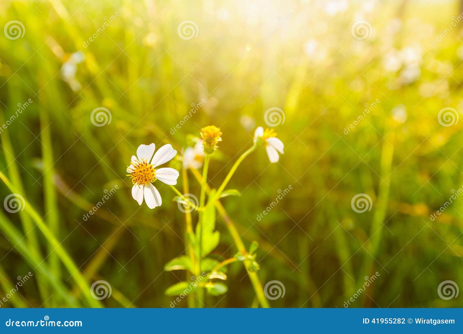 Dzikiej trawy kwiat