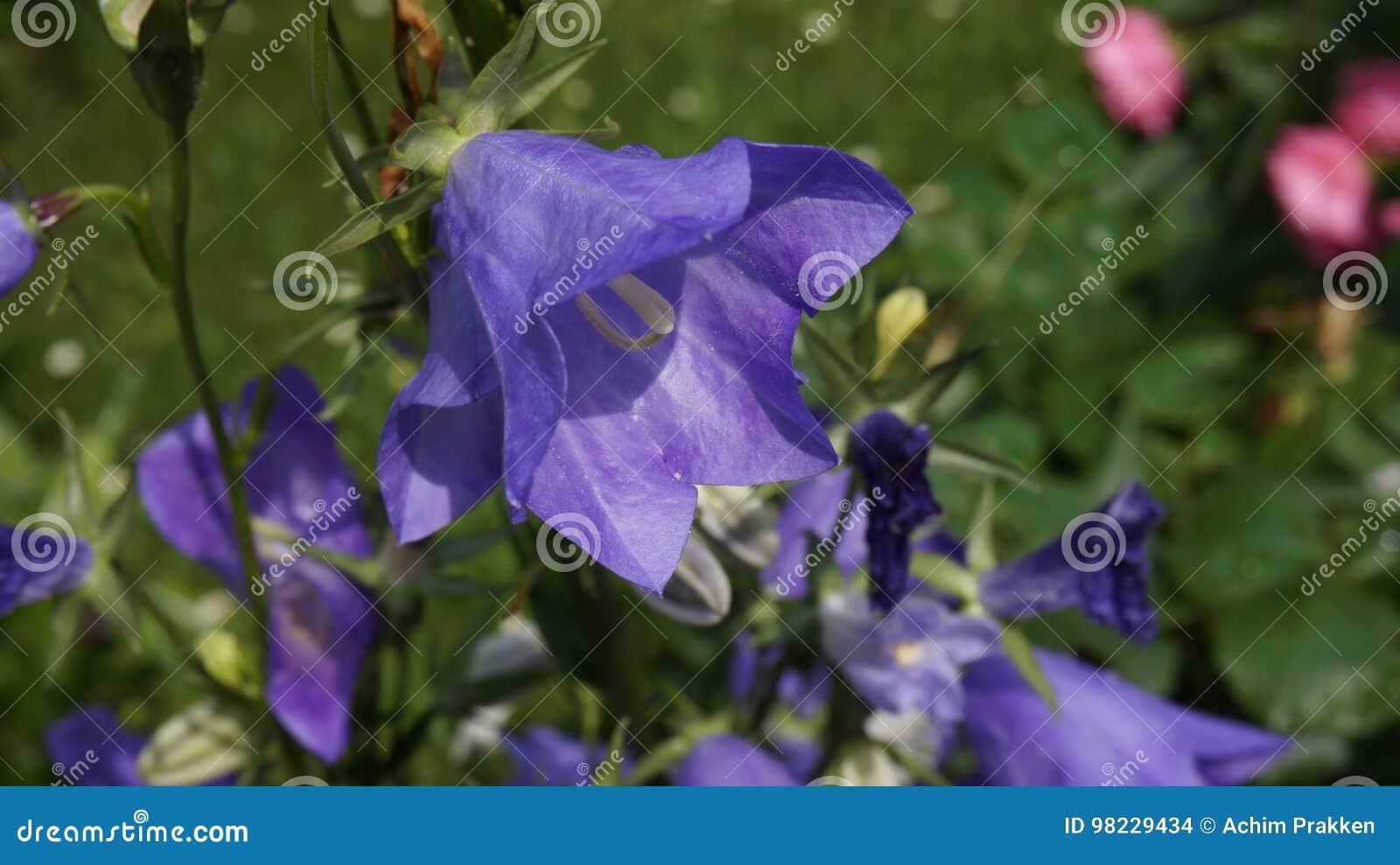 Dzwonkowego kwiatu błękit