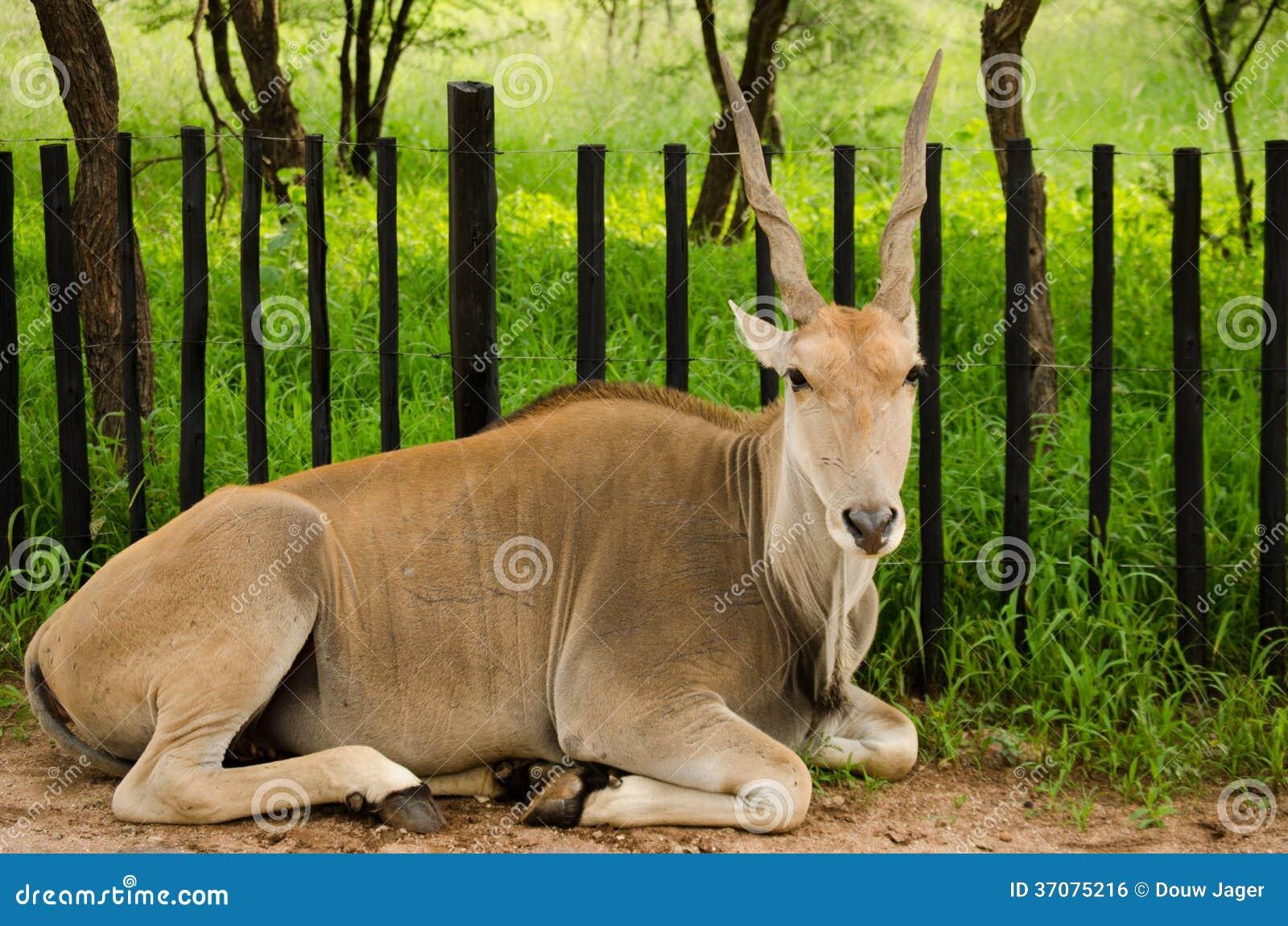 Download Żeński Eland Antylopy Kłaść Zdjęcie Stock - Obraz złożonej z bagażniki, fence: 37075216