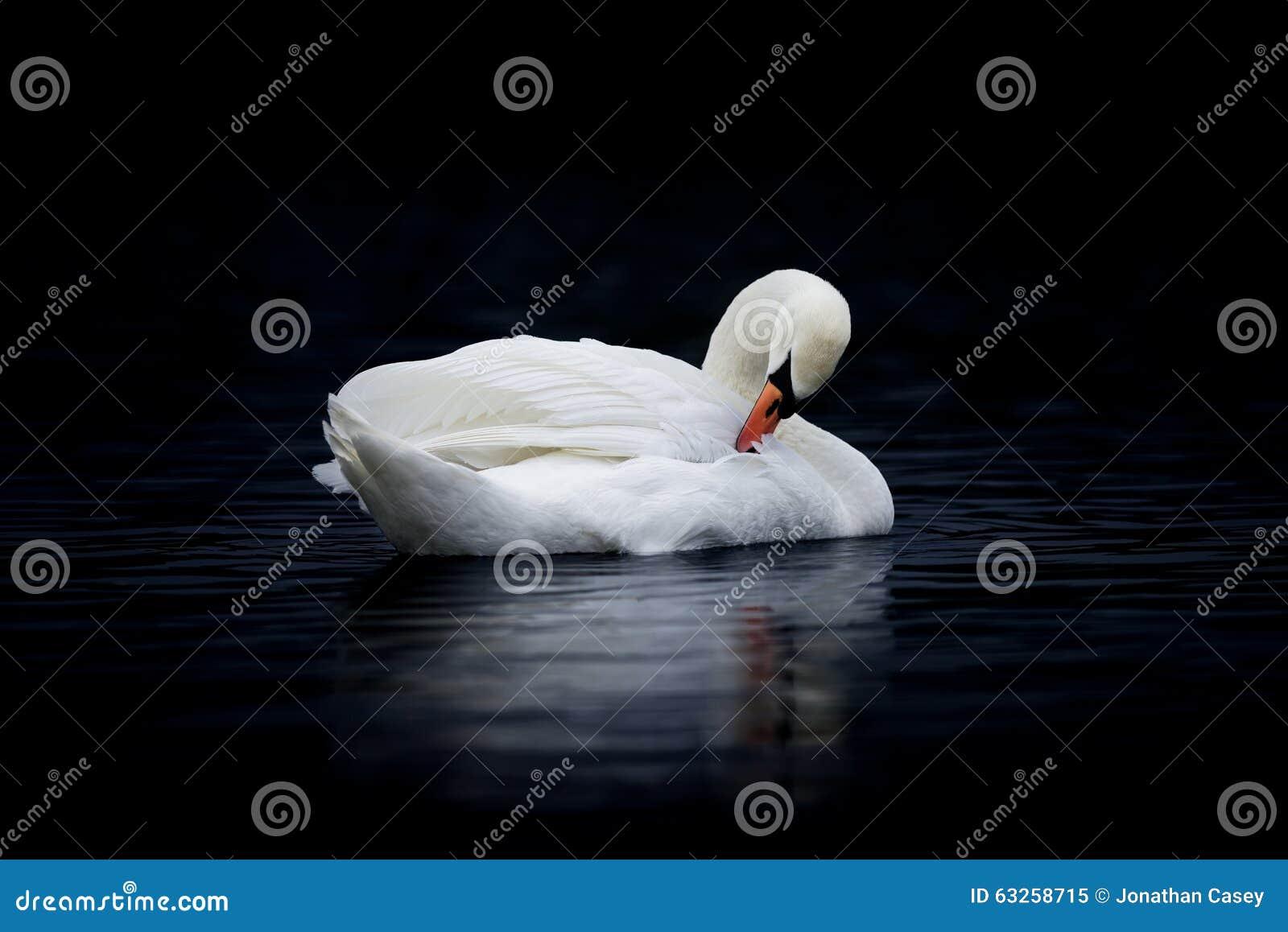 Żeński Niemy łabędź Preening na zmrok wodzie
