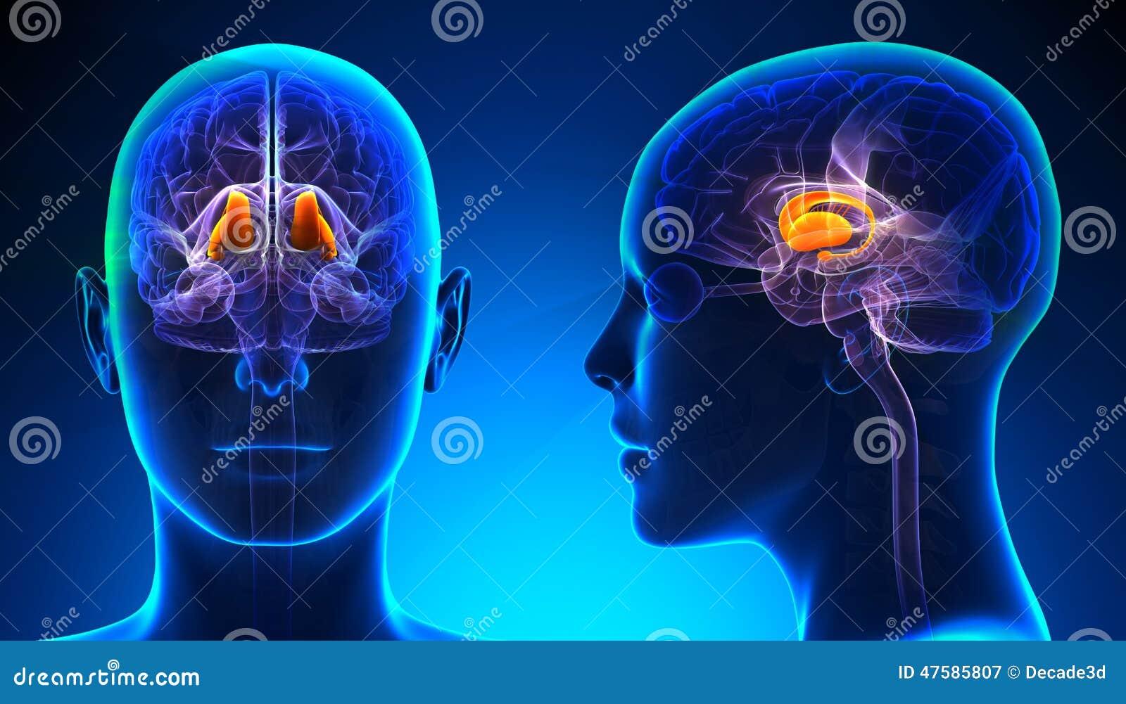 Żeńskiego Thalamus Móżdżkowa anatomia - błękitny pojęcie