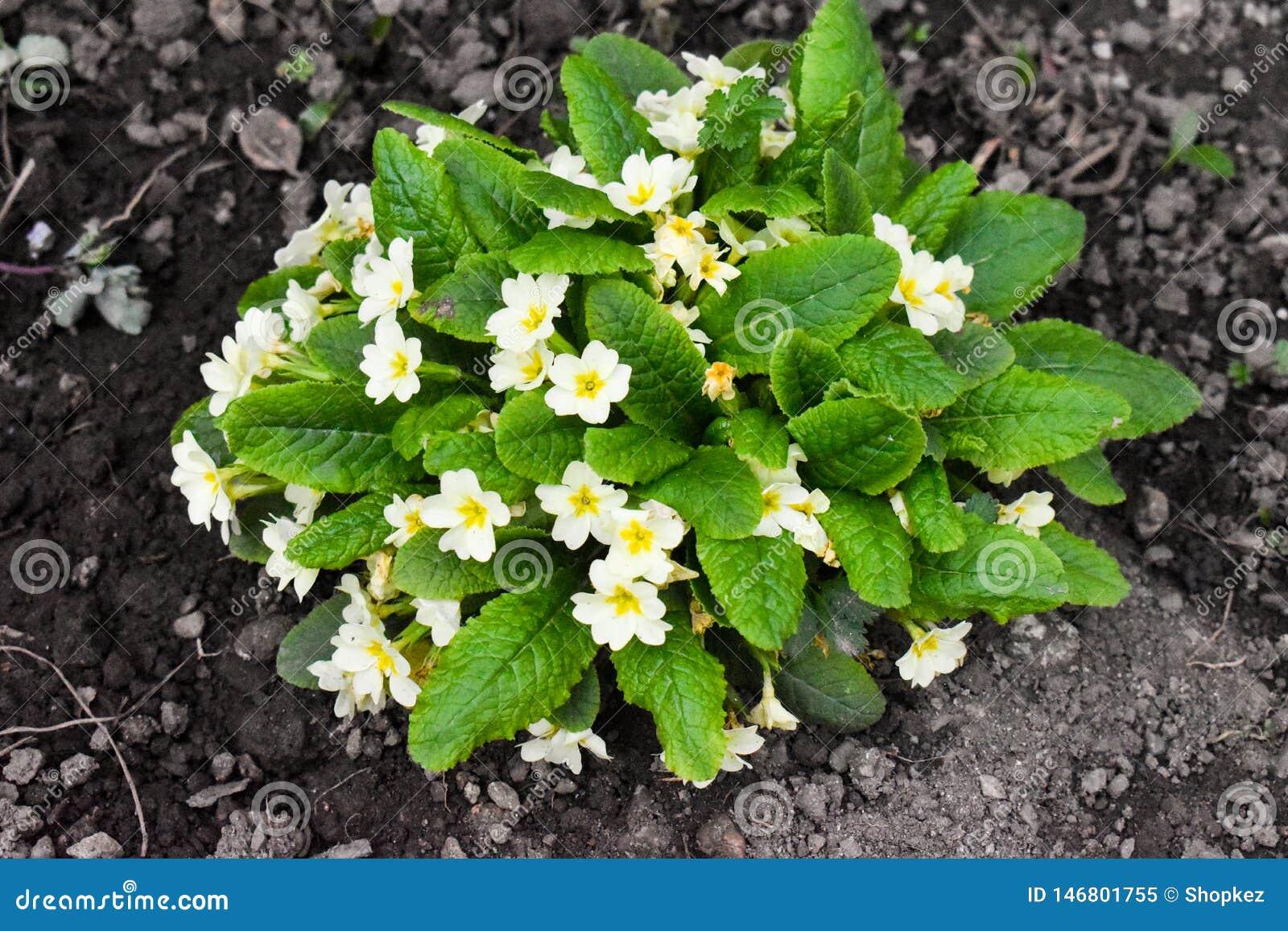E 报春花科是草本和木质的开花植物家庭