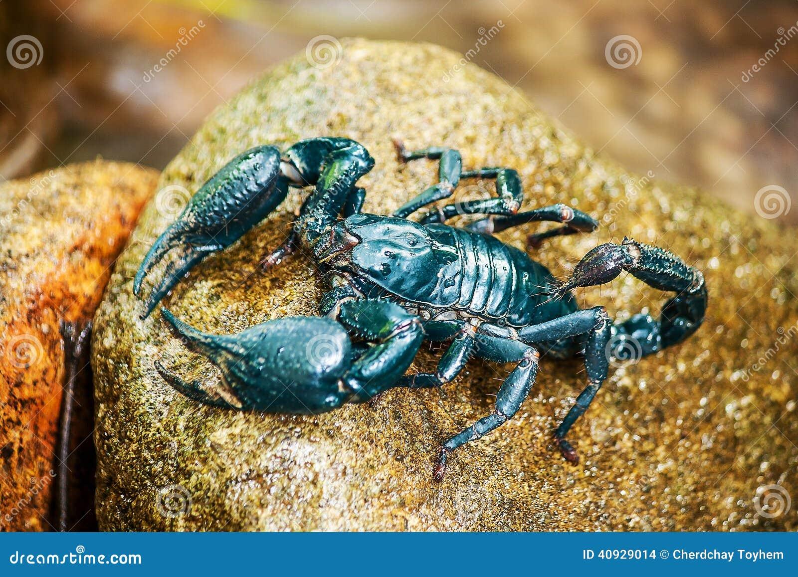 Scorpione blu sulla roccia
