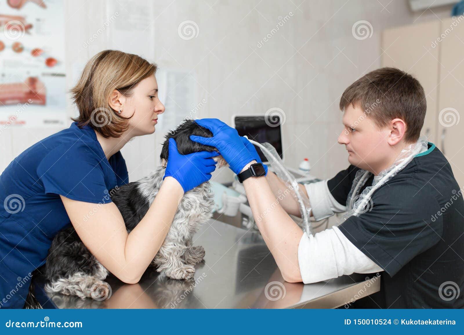 E Ajudas assistentes para manter o cão quando o doutor for um veterinário