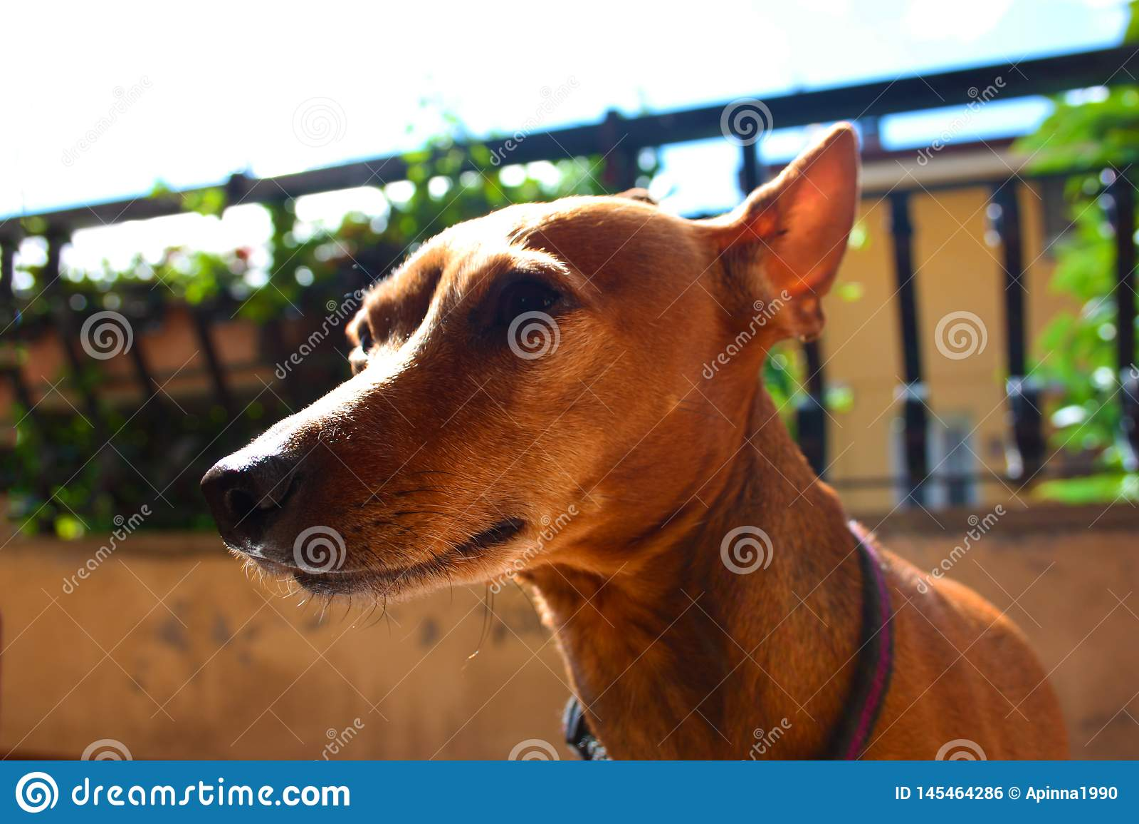 E animal dom?stico en la terraza de la casa en donde ?l vive orgulloso pinscher femenino del zwerg rojo o marr?n
