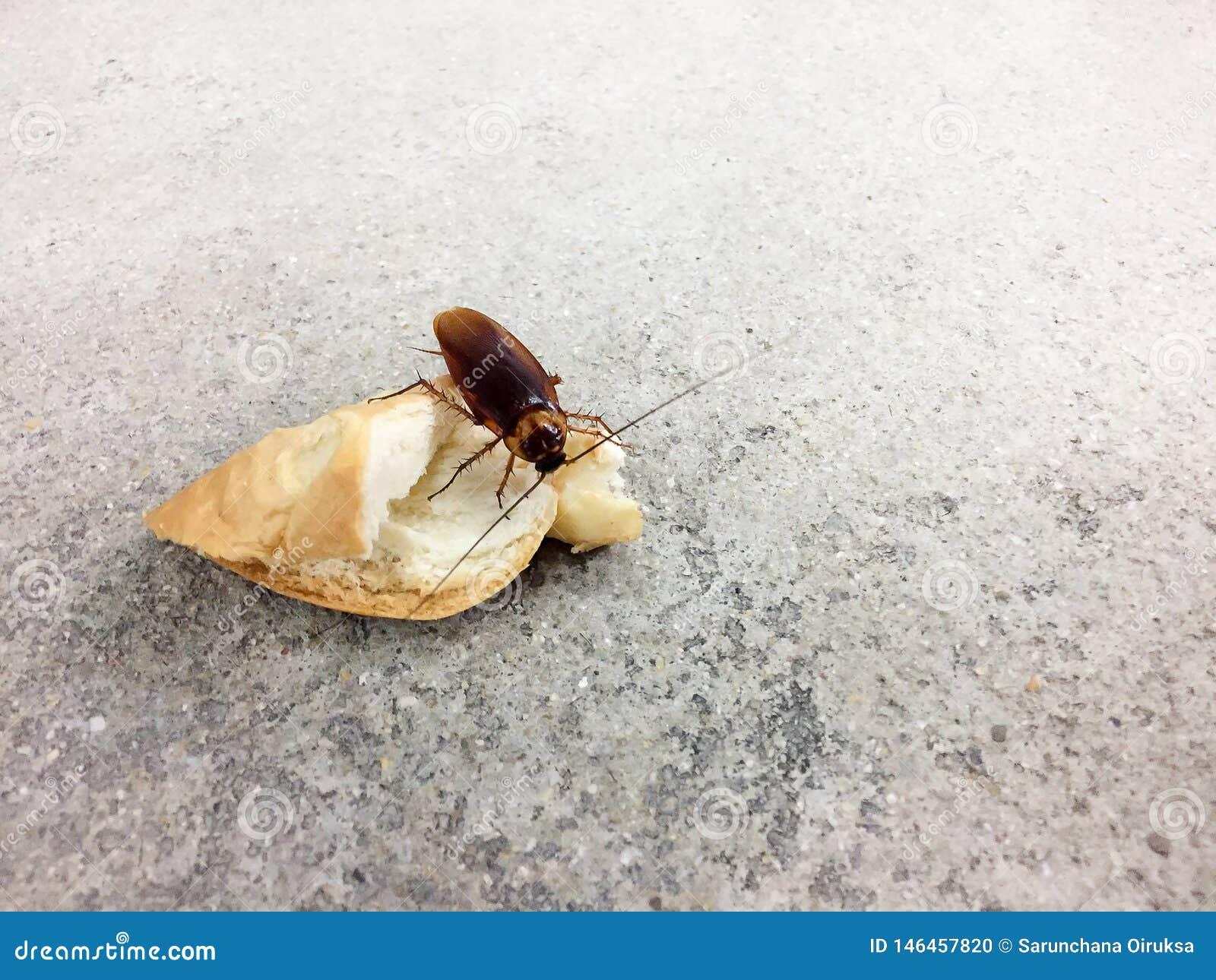 E De kakkerlakken zijn dragers van de ziekte
