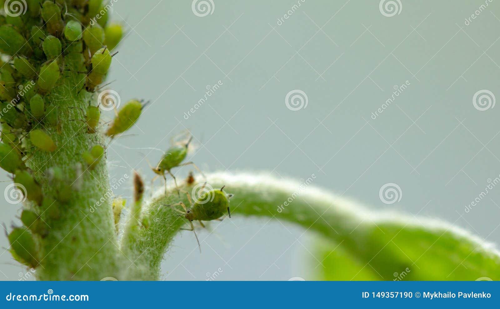 E El insecto alimenta en los jugos de la planta, destruyendo las hojas, las enfermedades de extensi?n y