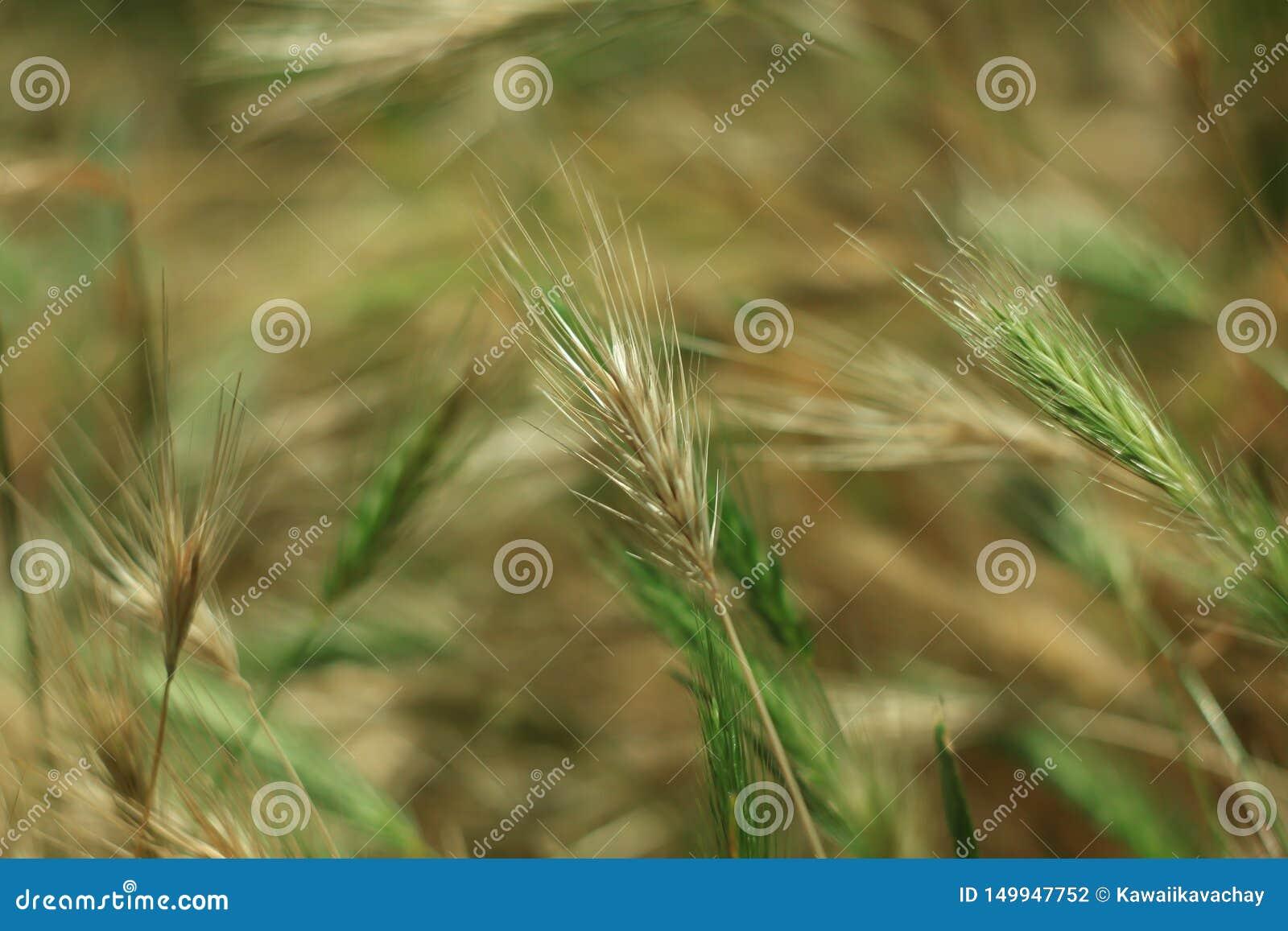 E Groen gras met gouden en pluizige oren, aard