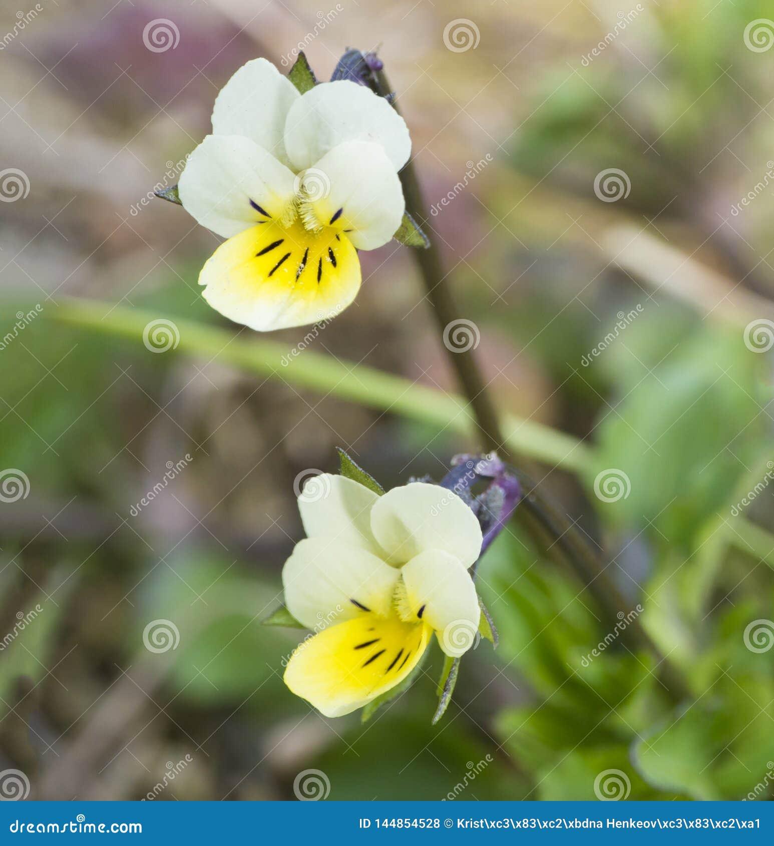 E Pensamiento de campo que florece en la primavera Profundidad del campo baja, primer