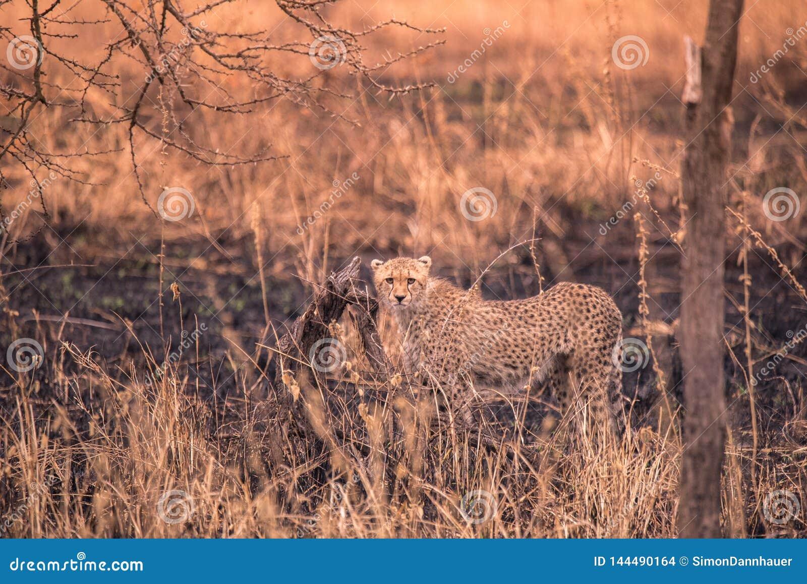 Cheetah nella savana africana Safari nella savana del parco nazionale del Serengeti, Tanzania Vicino a Maasai Mara Bruciato