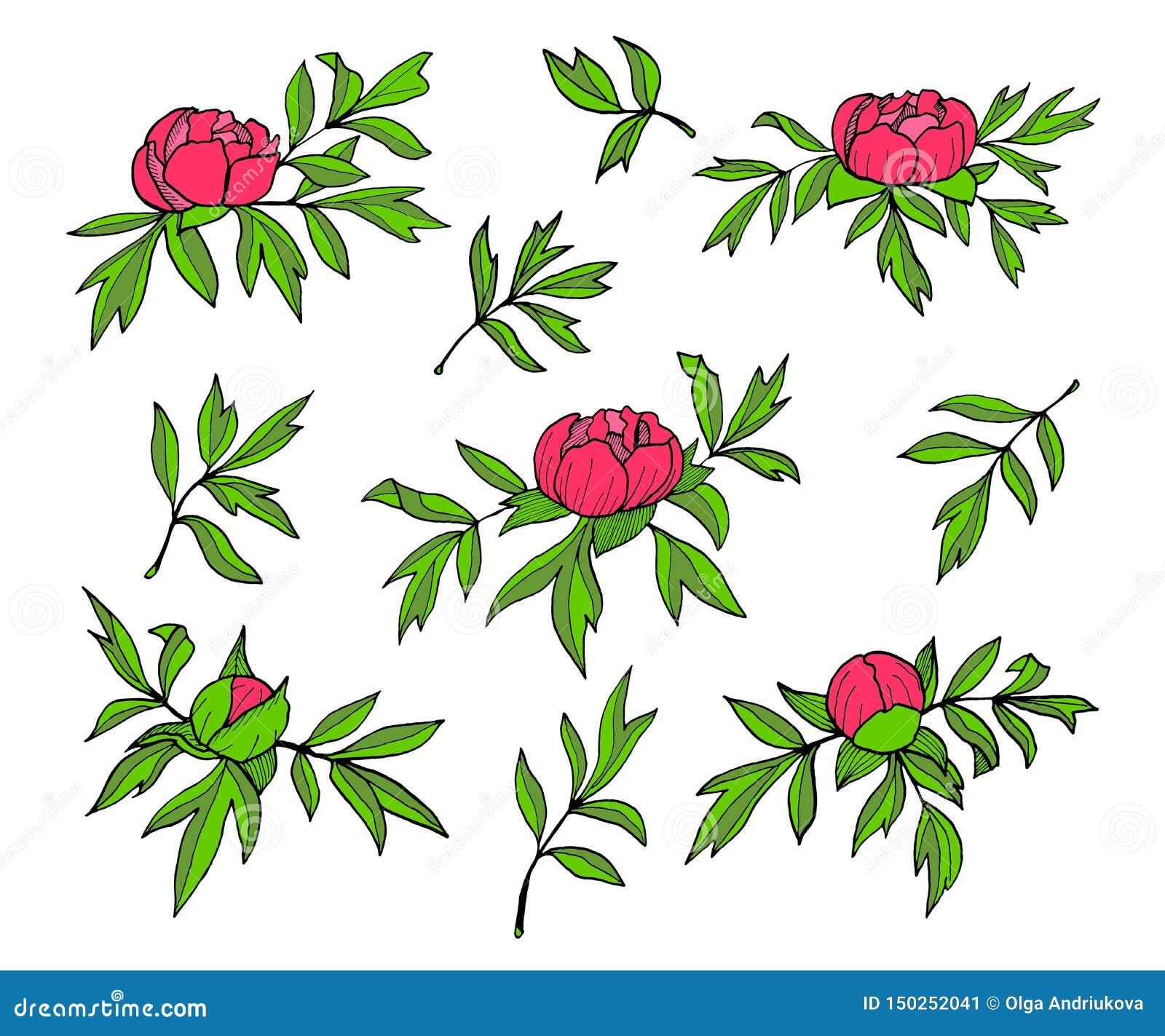 Illustrazione dei fiori, dei germogli e delle foglie della peonia Insieme floreale disegnato a mano isolato su fondo bianco Sempl