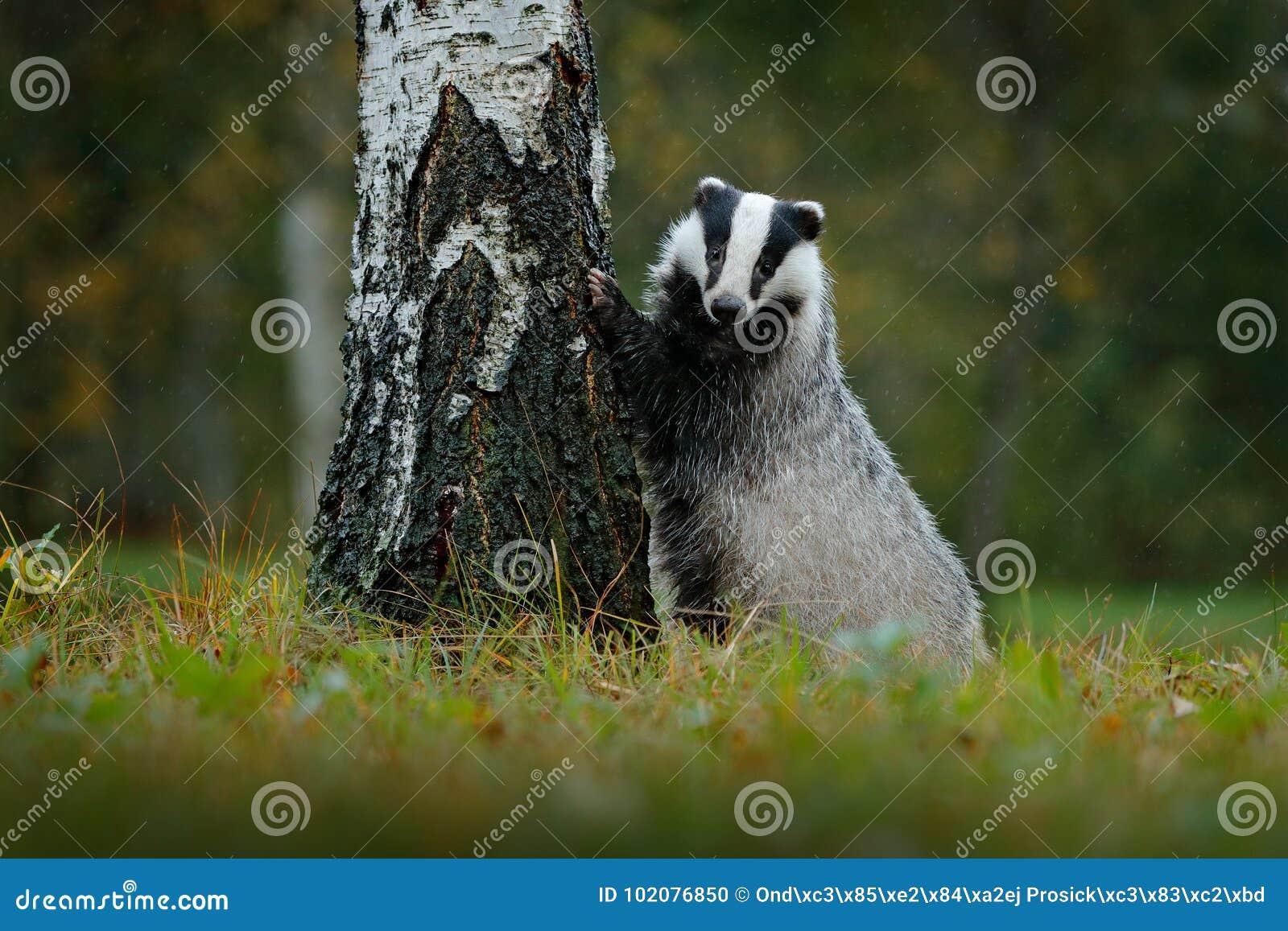 E Szene der wild lebenden Tiere Wilder Dachs, Meles Meles, Tier im Holz r