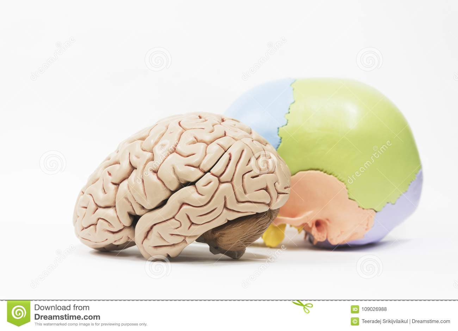 Human Brain And Skull Model On White Background Stock Photo - Image ...