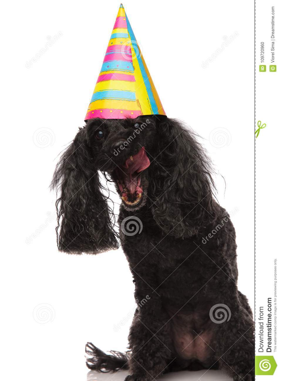 Stupendous Eager Birthday Poodle Is Ready To Eat The Cake Stock Photo Image Funny Birthday Cards Online Aeocydamsfinfo