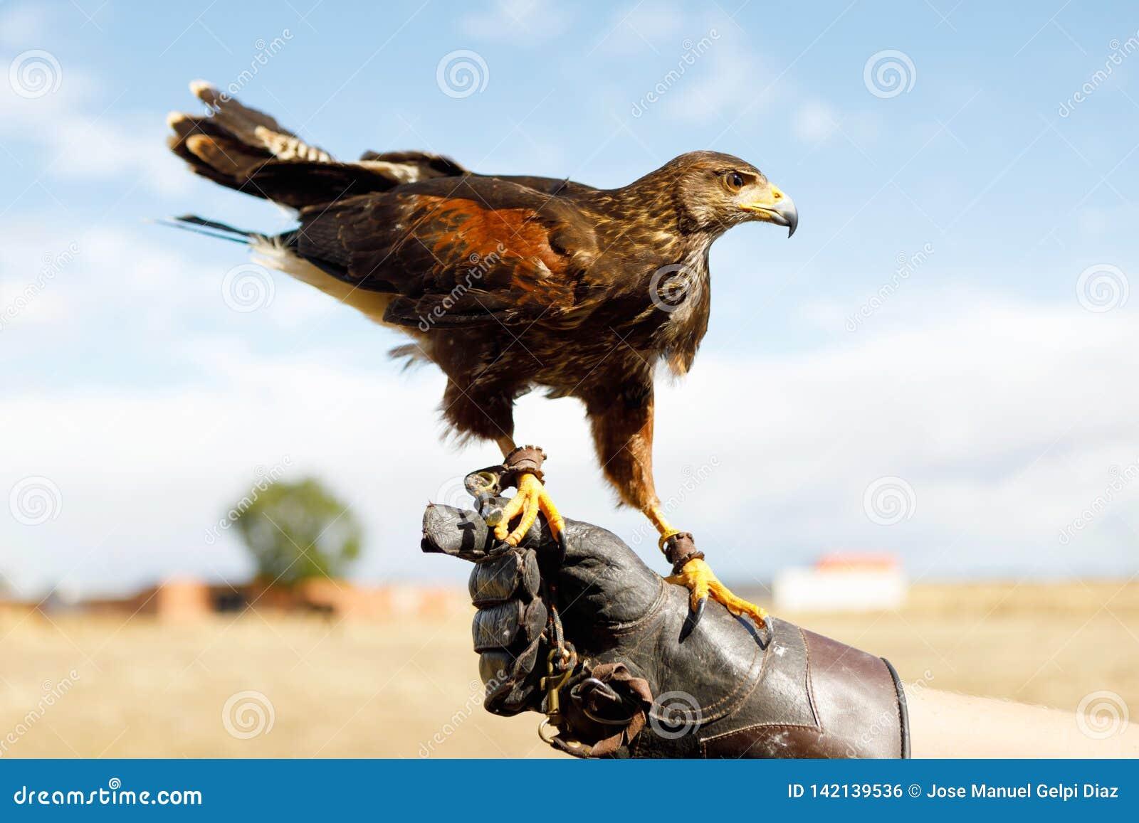Eagle était perché sur la main de l homme