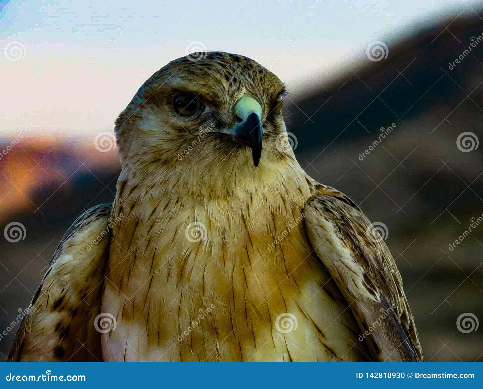 Eagle au Sahara