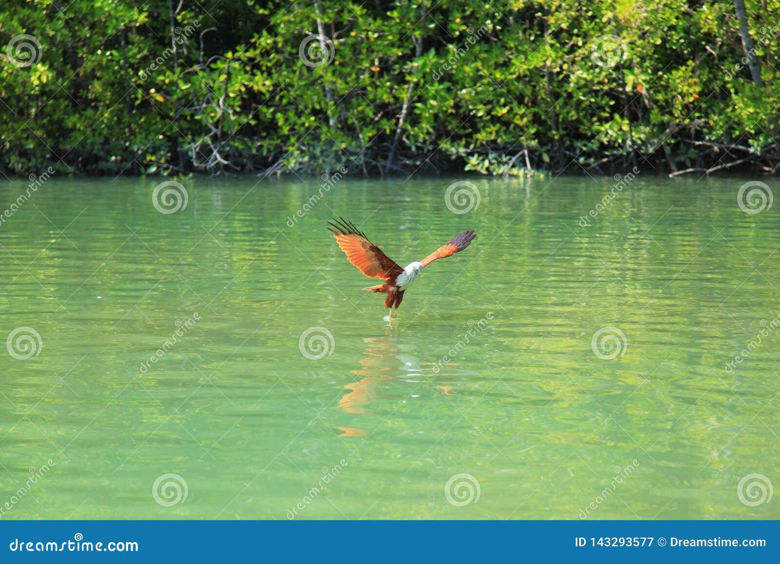 Eagle avec principal blanc vole au-dessus d une rivière Green sur le fond des arbres verts