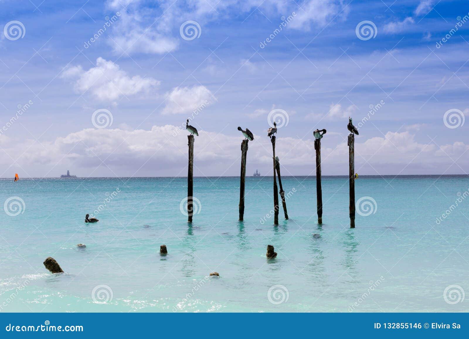 Eagle beach in Aruba. Pelicans on wood