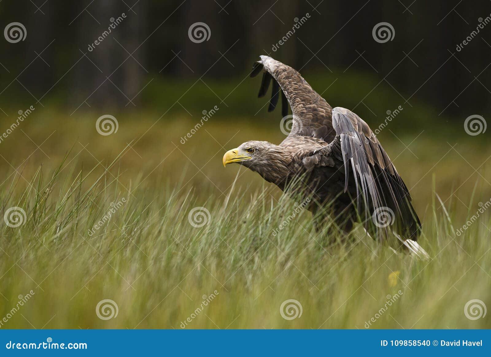 Eagle Blanc-coupé la queue - albicilla de Haliaeetus