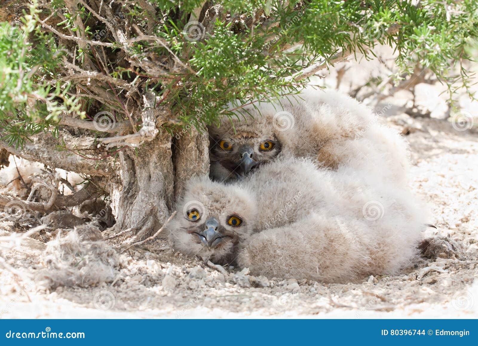 Eagle-bubo van Bubo van uilkuikens