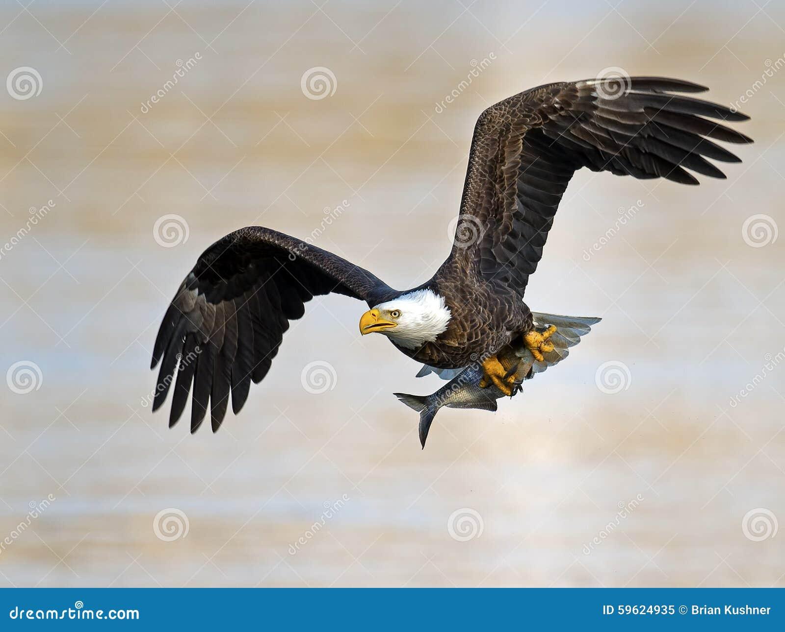 Eagle calvo americano con il pesce