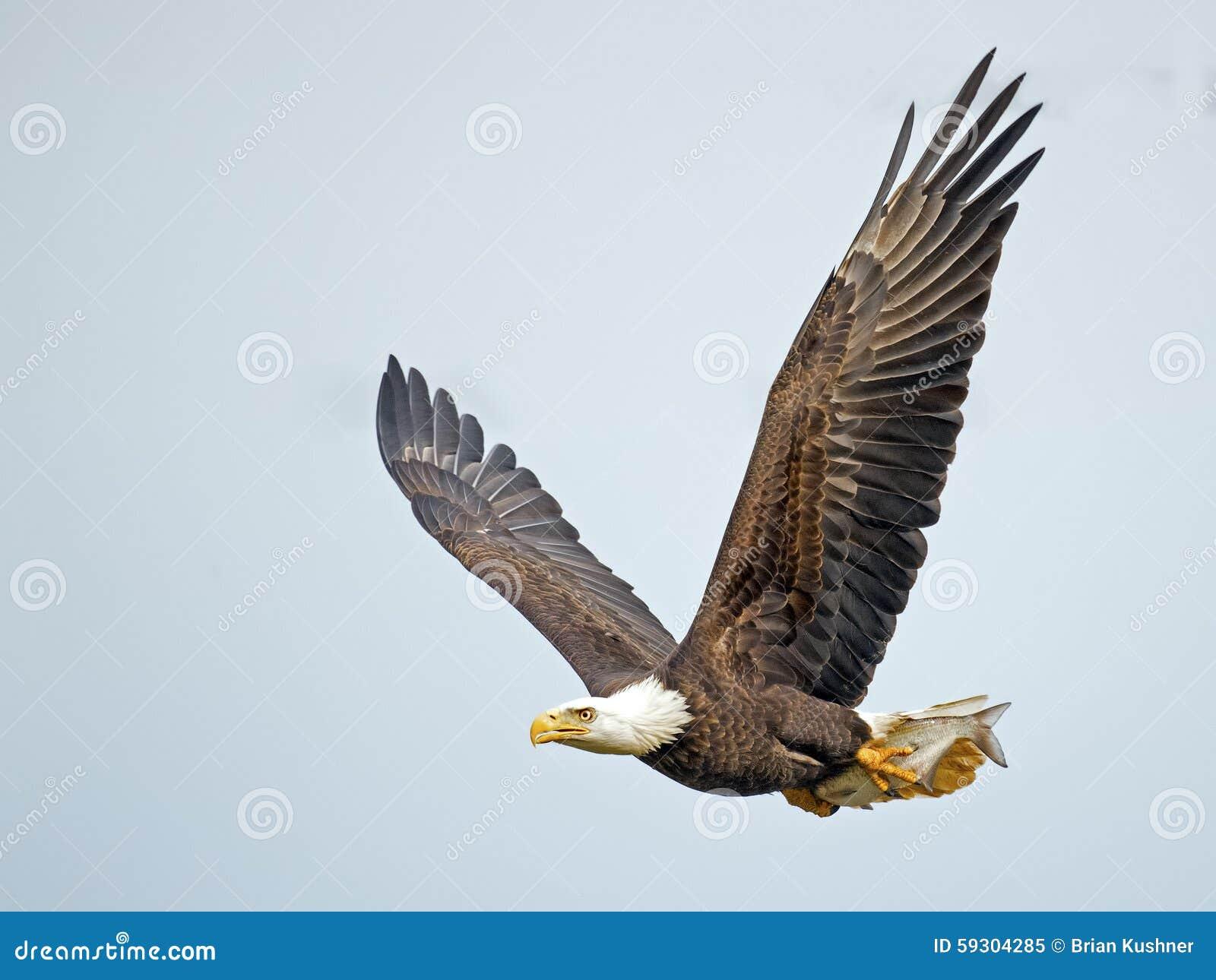 Eagle calvo americano con los pescados