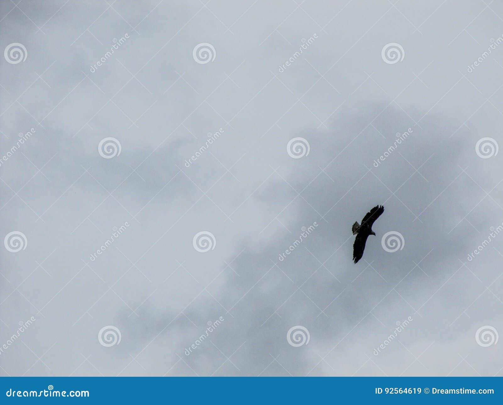 Eagle calvo che sale il cielo