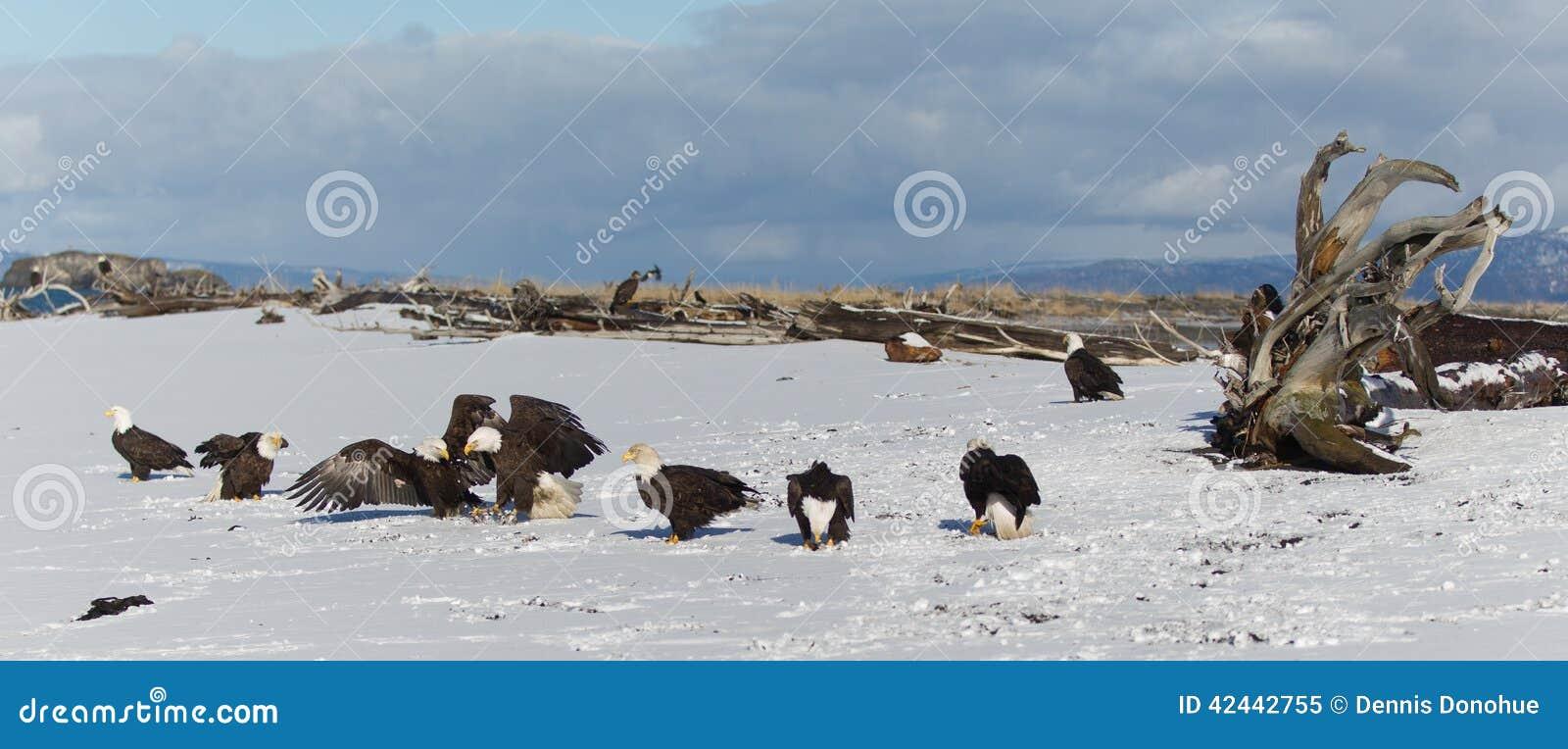 Eagle calvo en la tierra en Alaska