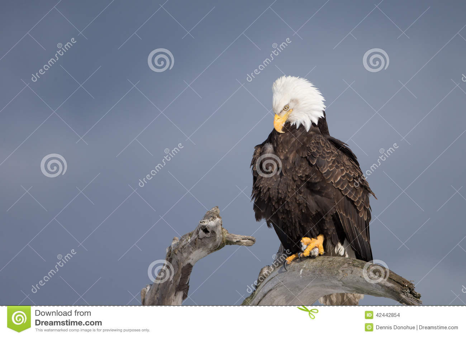 Eagle calvo encaramado en la madera de deriva, Homer Alaska