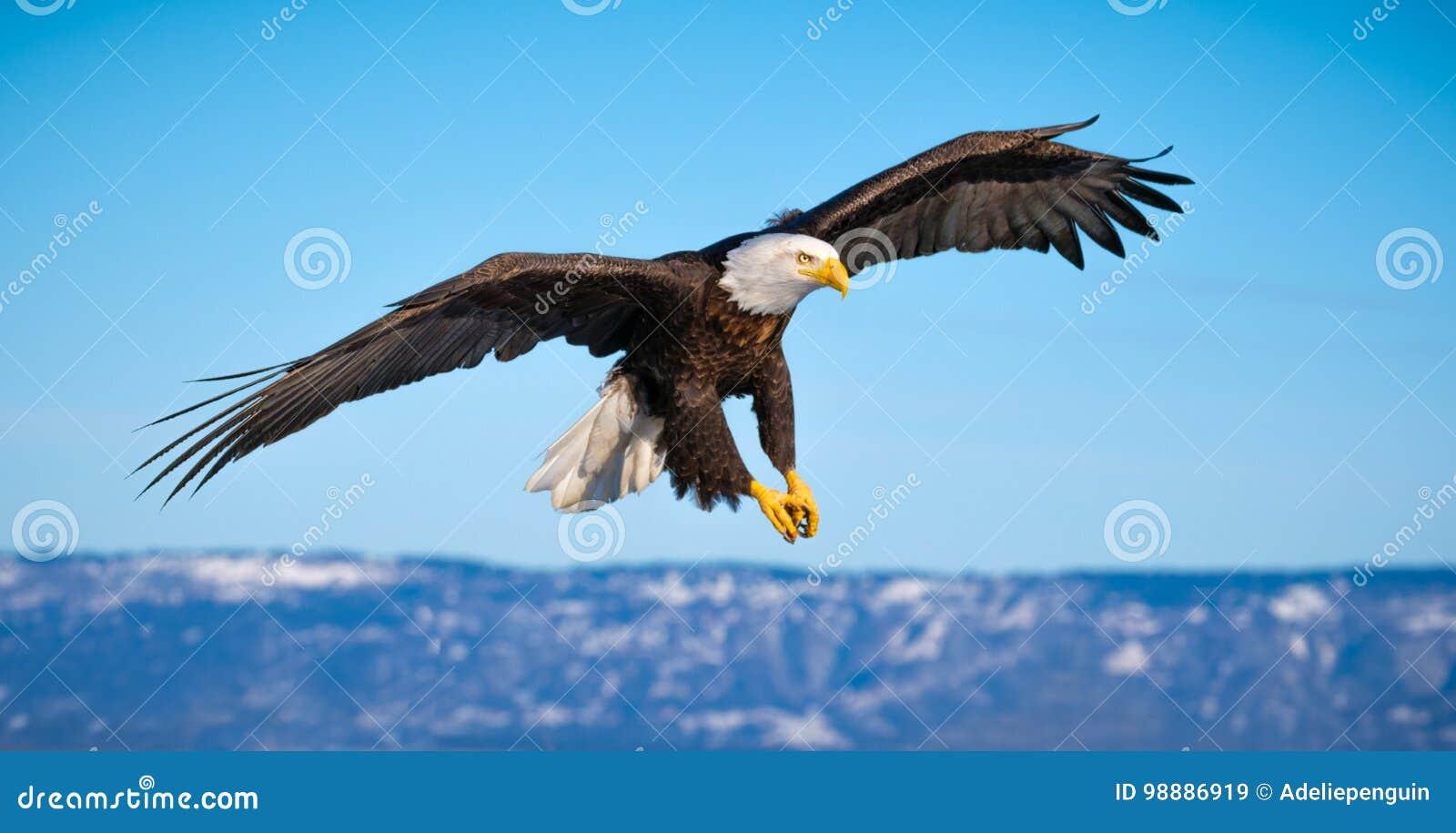 Eagle calvo que vuela, home run, Alaska