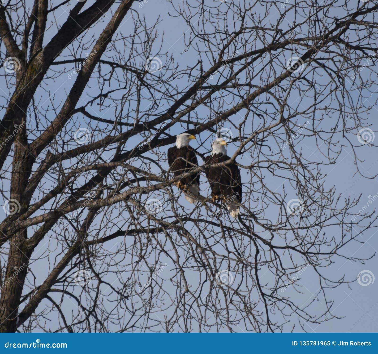 Eagle chauve américain #1
