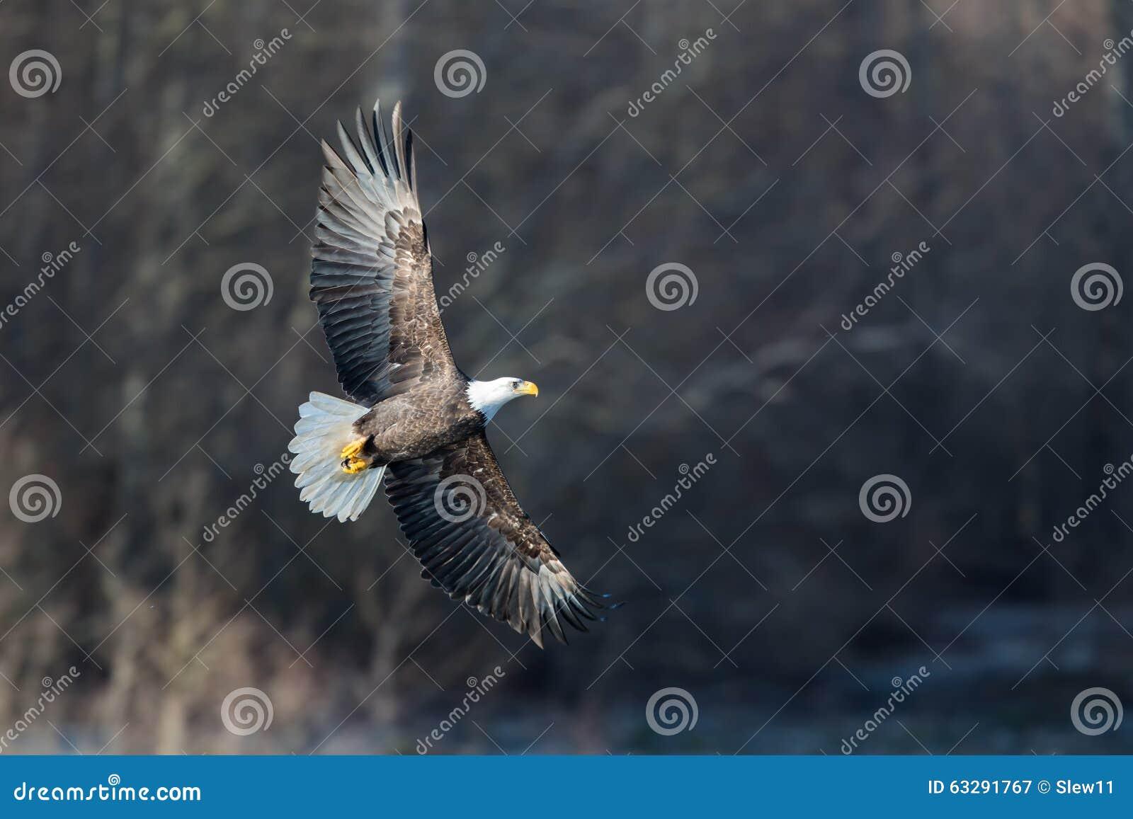 Eagle chauve montant près de Colombie-Britannique de Squamish