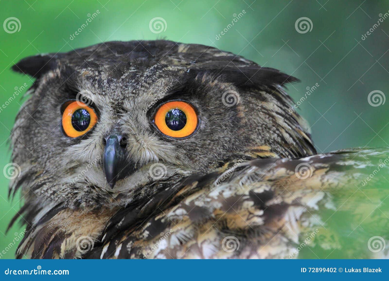 Eagle-coruja euro-asiática