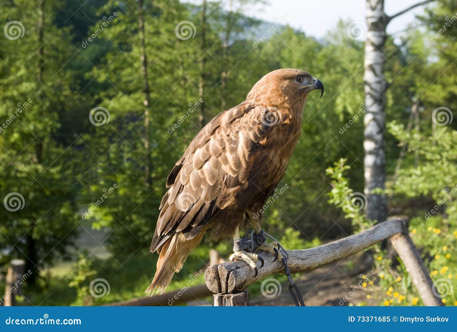 Eagle d or en captivité