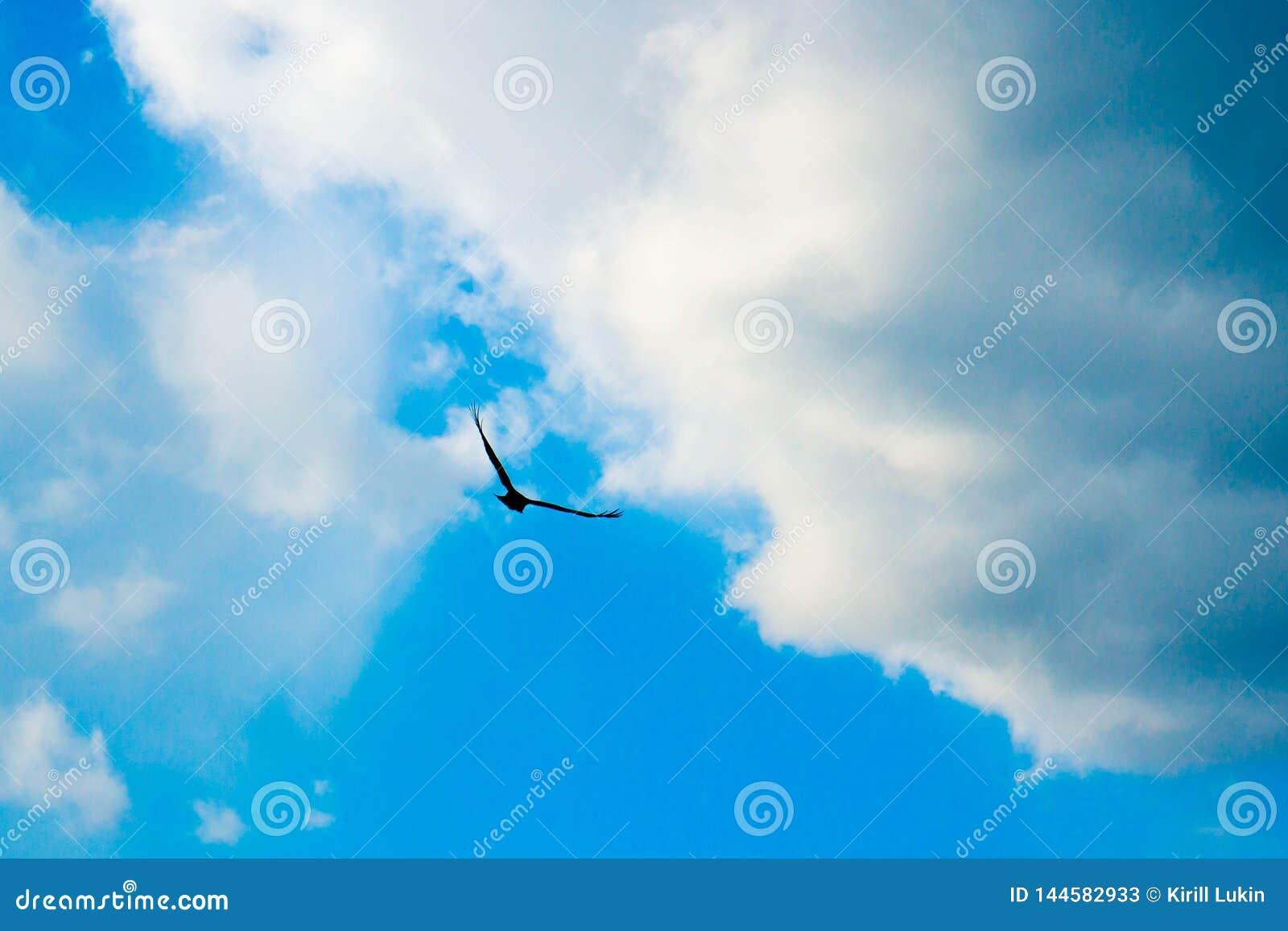 Eagle die in de hemel vliegen