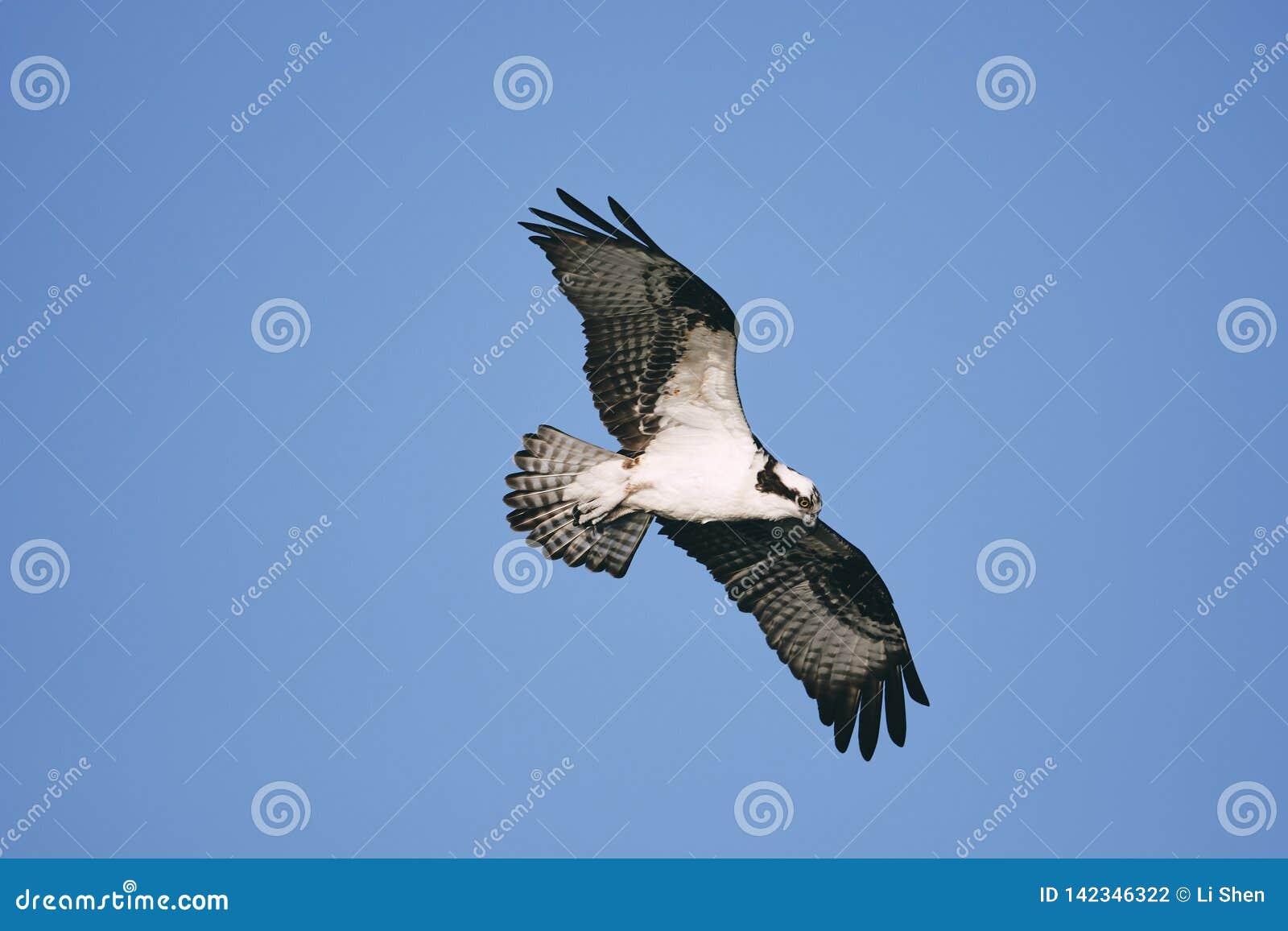 Eagle die zijn vleugels uitbreiden en in de blauwe hemel stijgen
