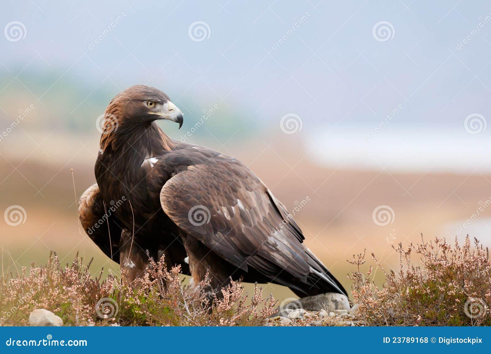Eagle dourado