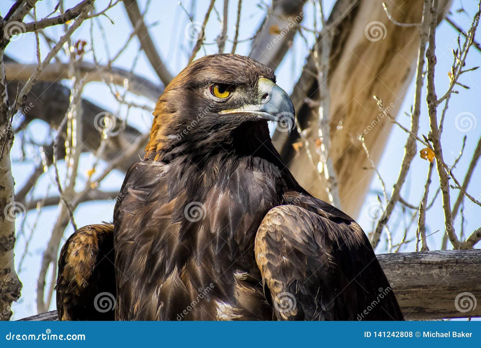 Eagle dourado em uma árvore