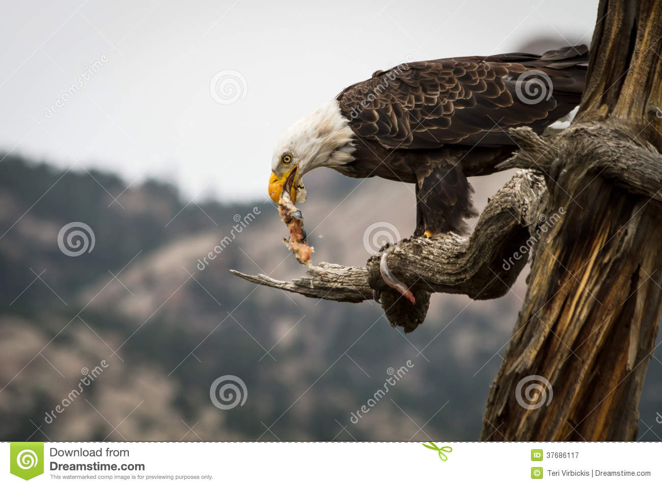Eagle eating fish stock image image of eating american for Dreaming of eating fish
