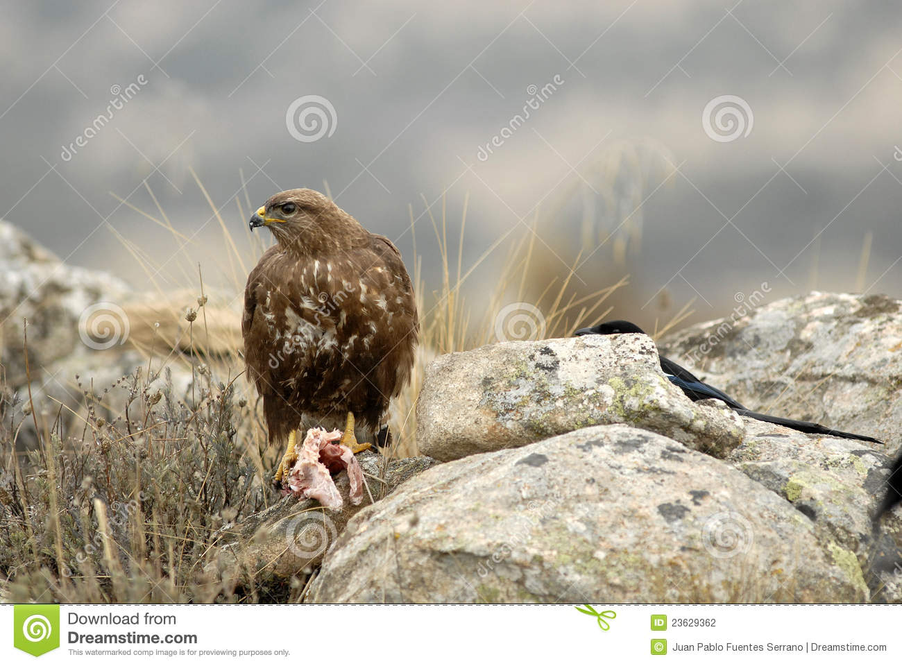 Eagle eating meat - photo#3