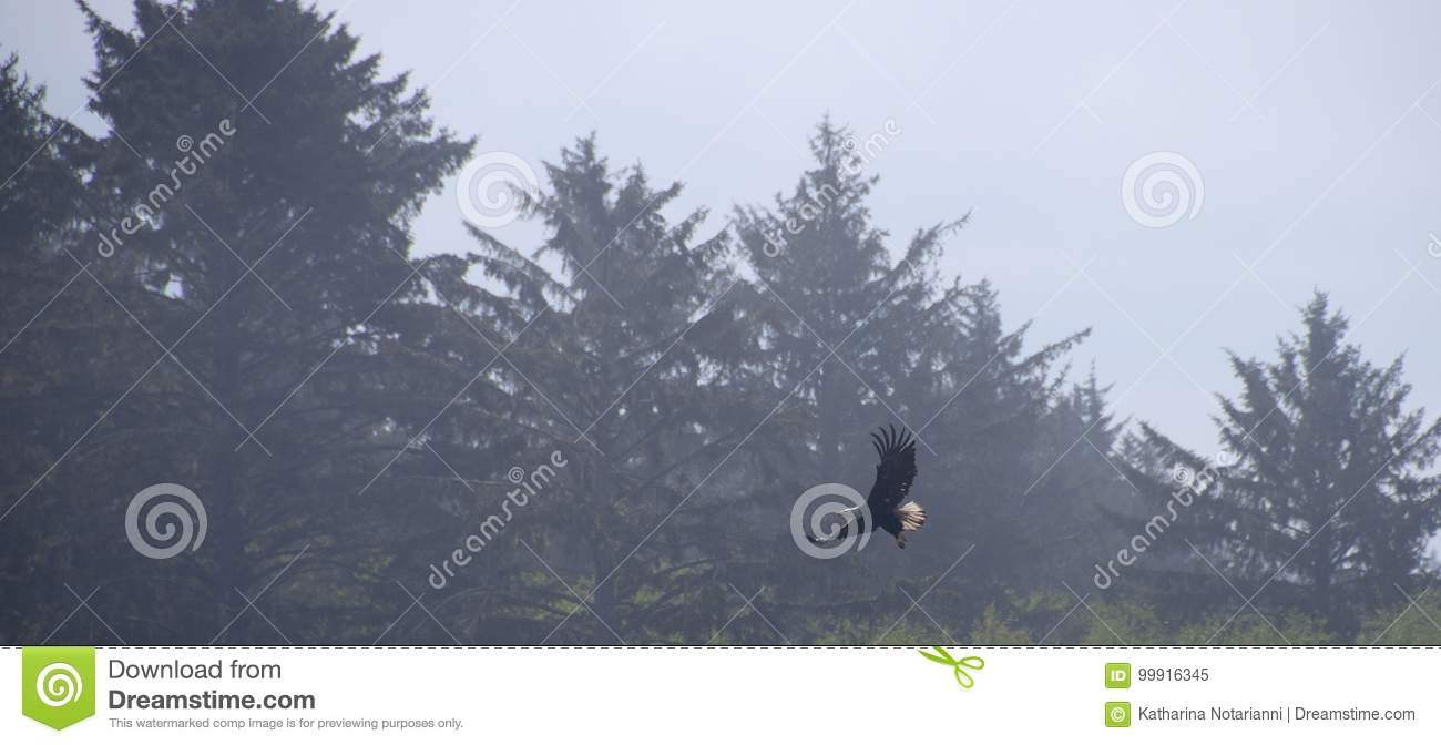 Eagle in flight with forest background