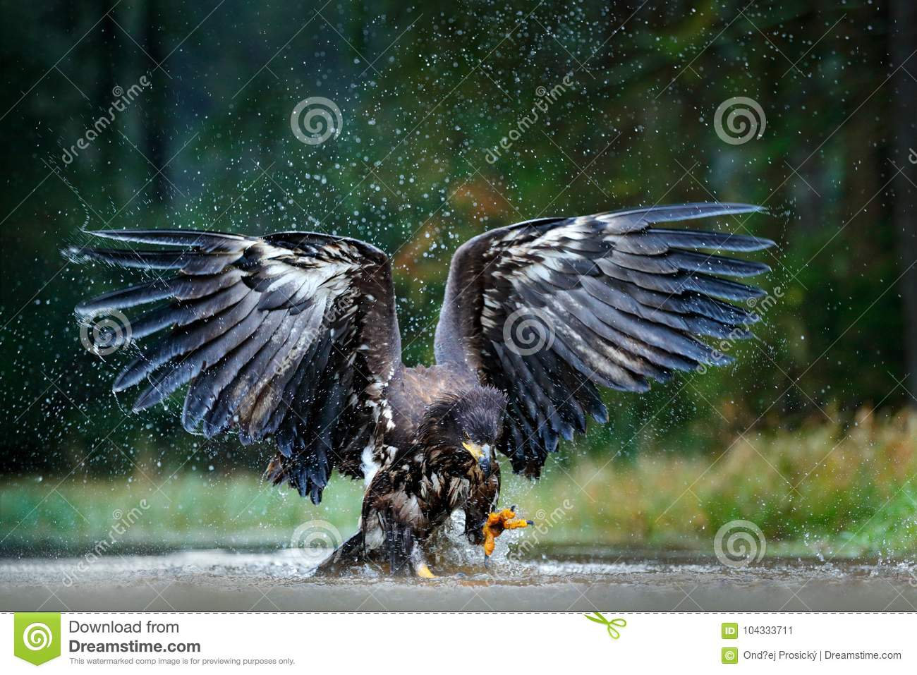 Eagle in fly above the dark lake. White-tailed Eagle, Haliaeetus albicilla, flight above the water river, bird of prey with forest