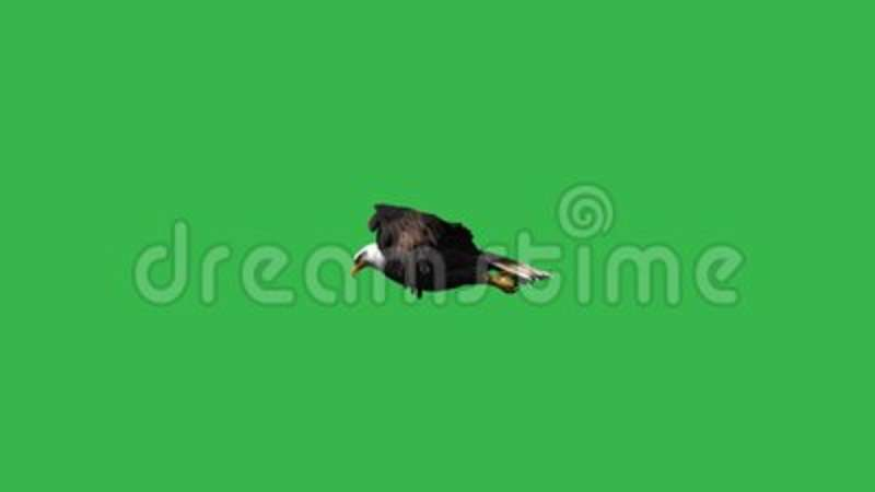 Eagle Flying - Green Screen Stock Footage - Video of america