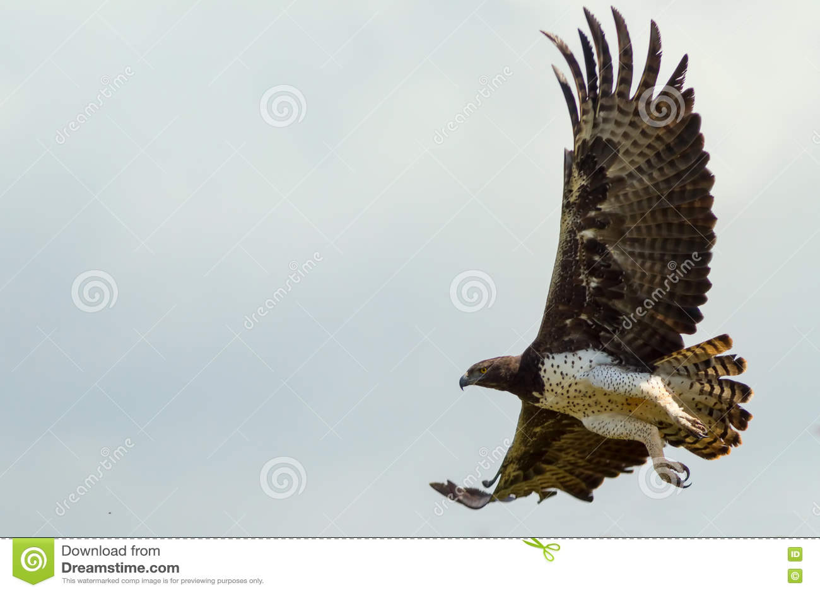 Eagle Flying marcial adulto