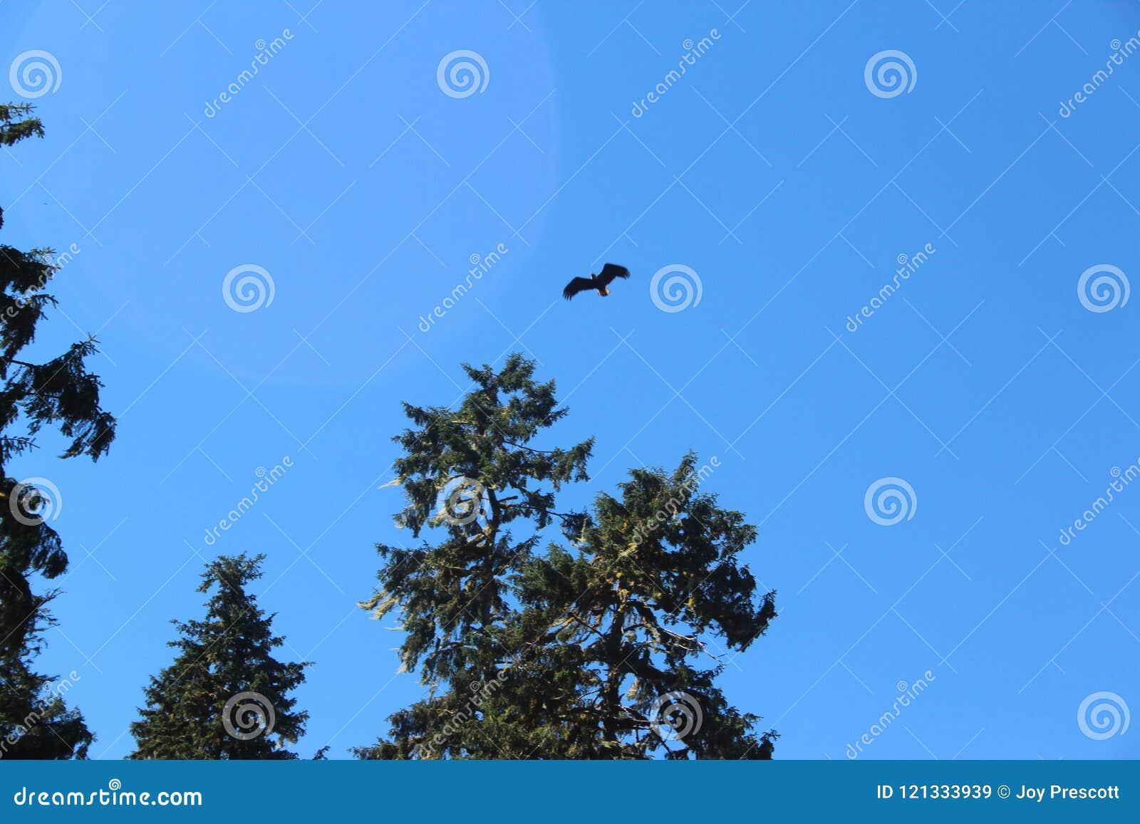 Eagle Flying Over Forest calvo en verano cerca de Wrangell Alaska