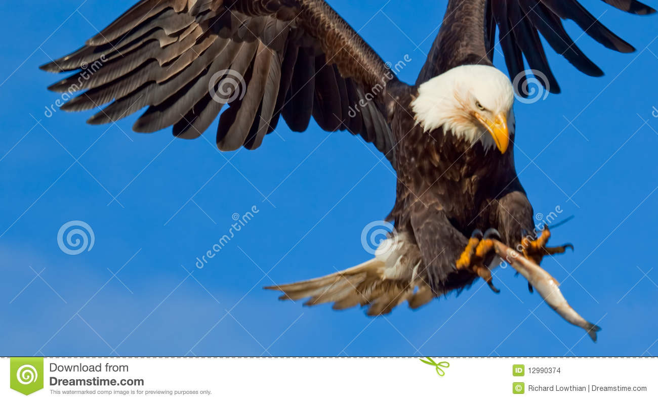 an American Bald Eagle in Flight with a blue sky background. The eagle ...