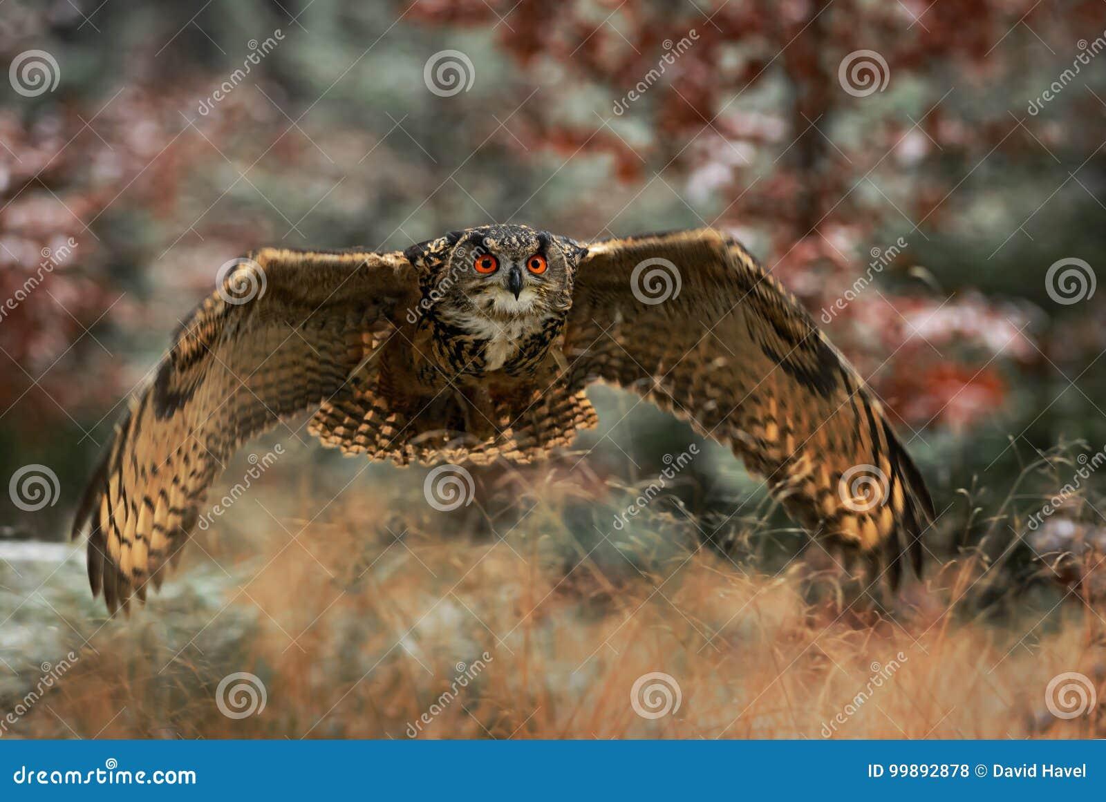 Eagle-hibou eurasien - bub de Bubo