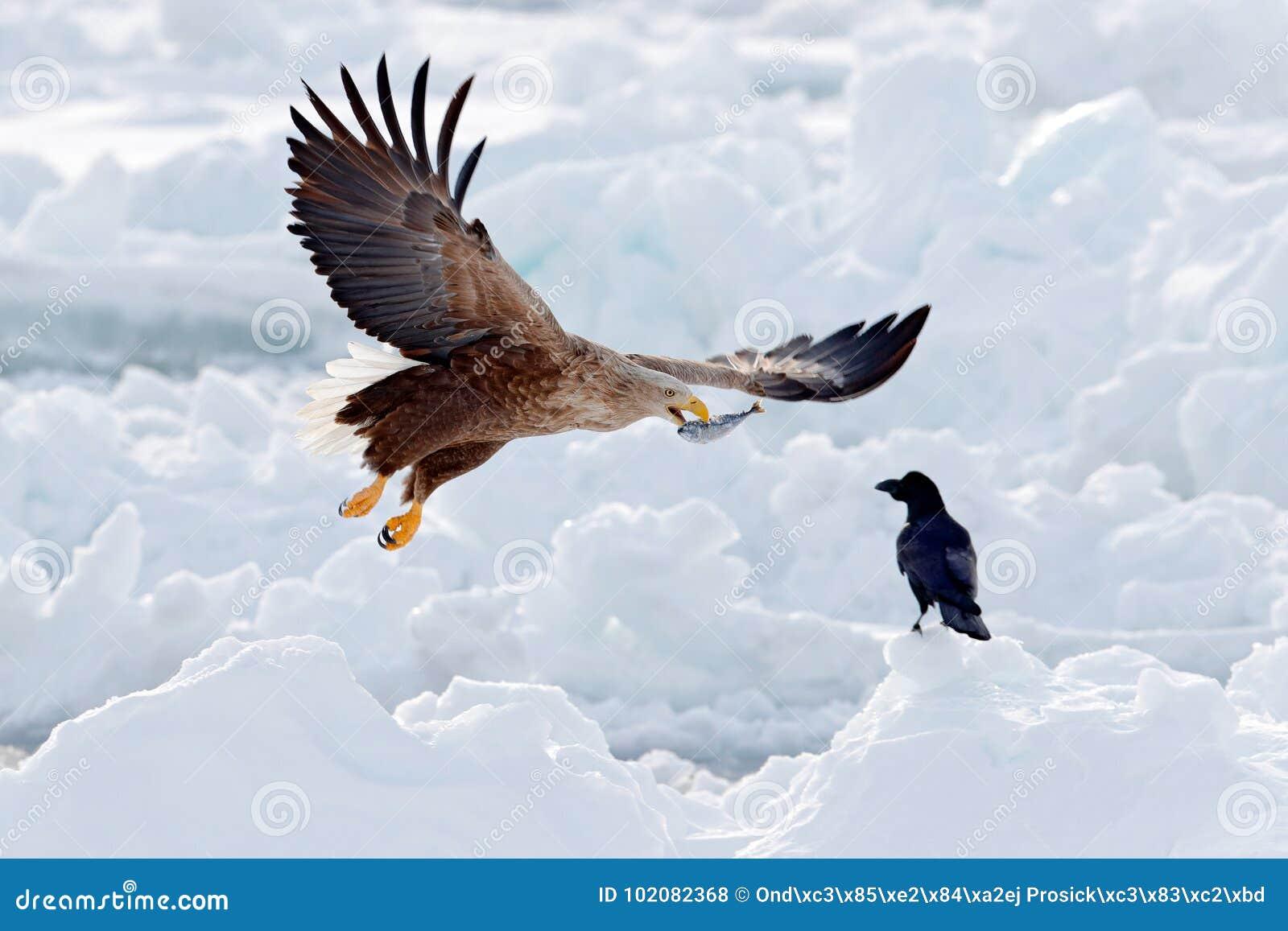 Eagle kamp med fisken Vinterplats med fågel två av rovet Stora örnar, snöhav Flyg Vit-tailed örn, Haliaeetusalbicilla,