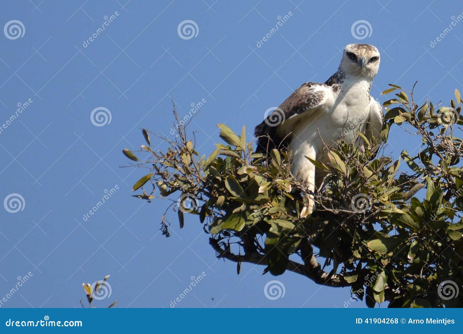 Eagle marcial (bellicosus) de Polemaetus (joven)