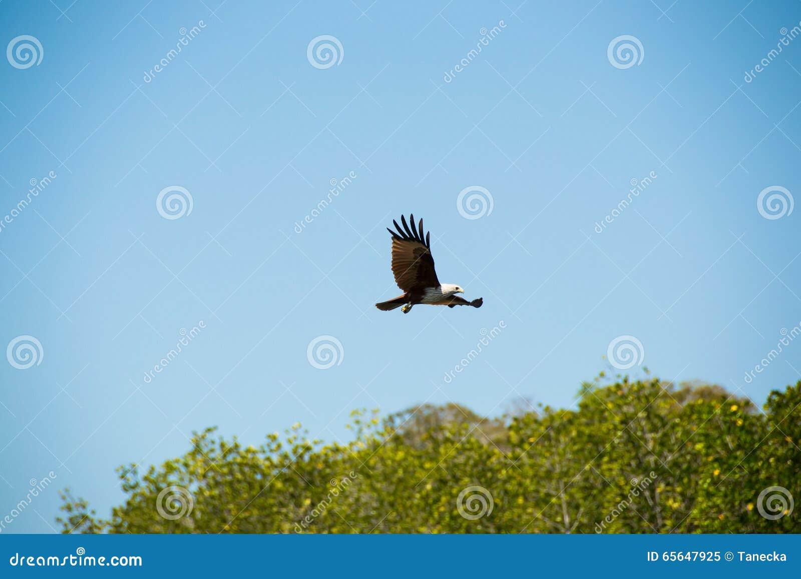Eagle montant et regardant pour la proie